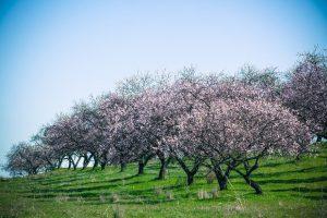 virágzó barackfák egy telken